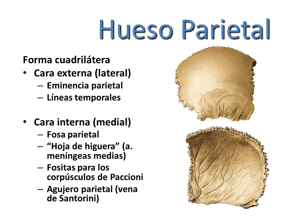 Hueso Parietal Forma cuadrilátera Cara externa (lateral)