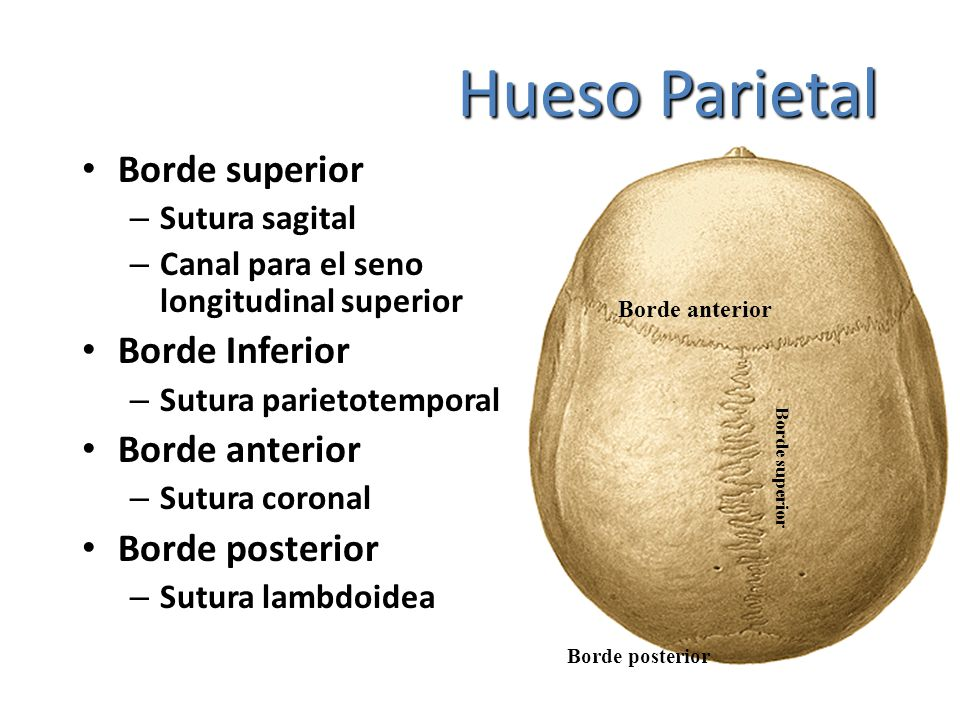 Hueso Parietal Borde superior Borde Inferior Borde anterior