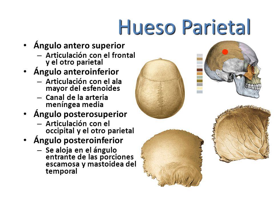 Hueso Parietal Ángulo antero superior Ángulo anteroinferior