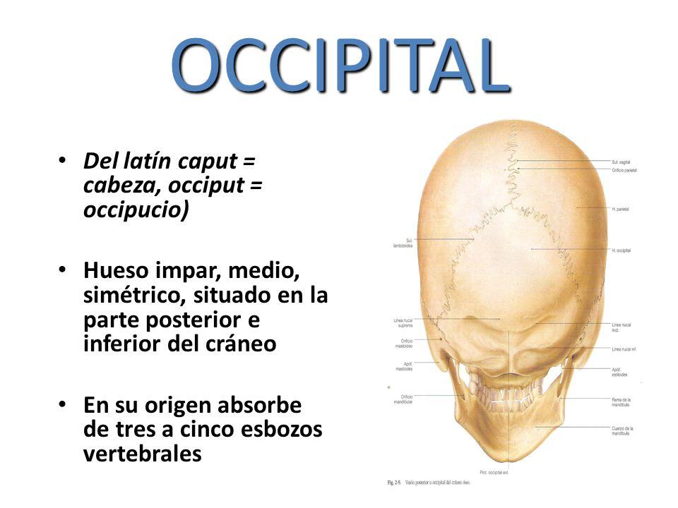 OCCIPITAL Del latín caput = cabeza, occiput = occipucio)