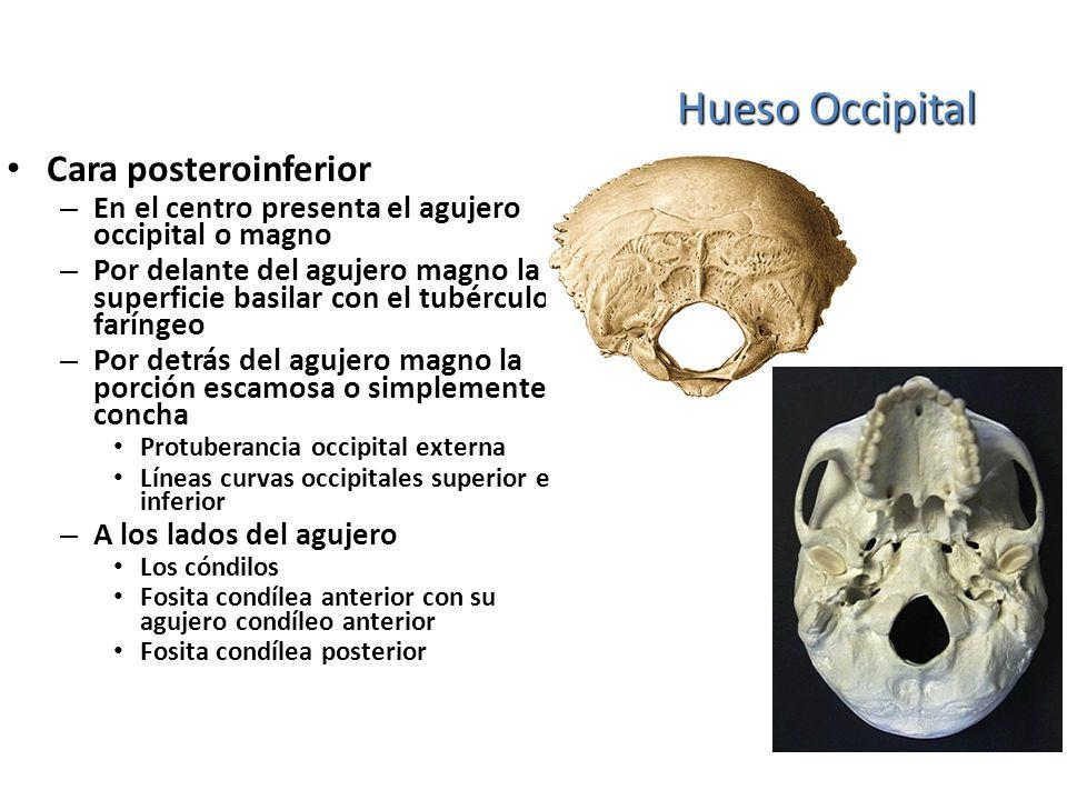 Hueso Occipital Cara posteroinferior