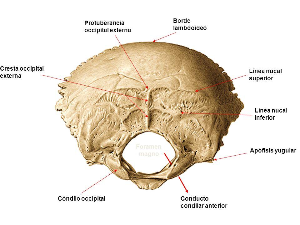 Borde lambdoideo Protuberancia occipital externa. Cresta occipital externa. Línea nucal superior.