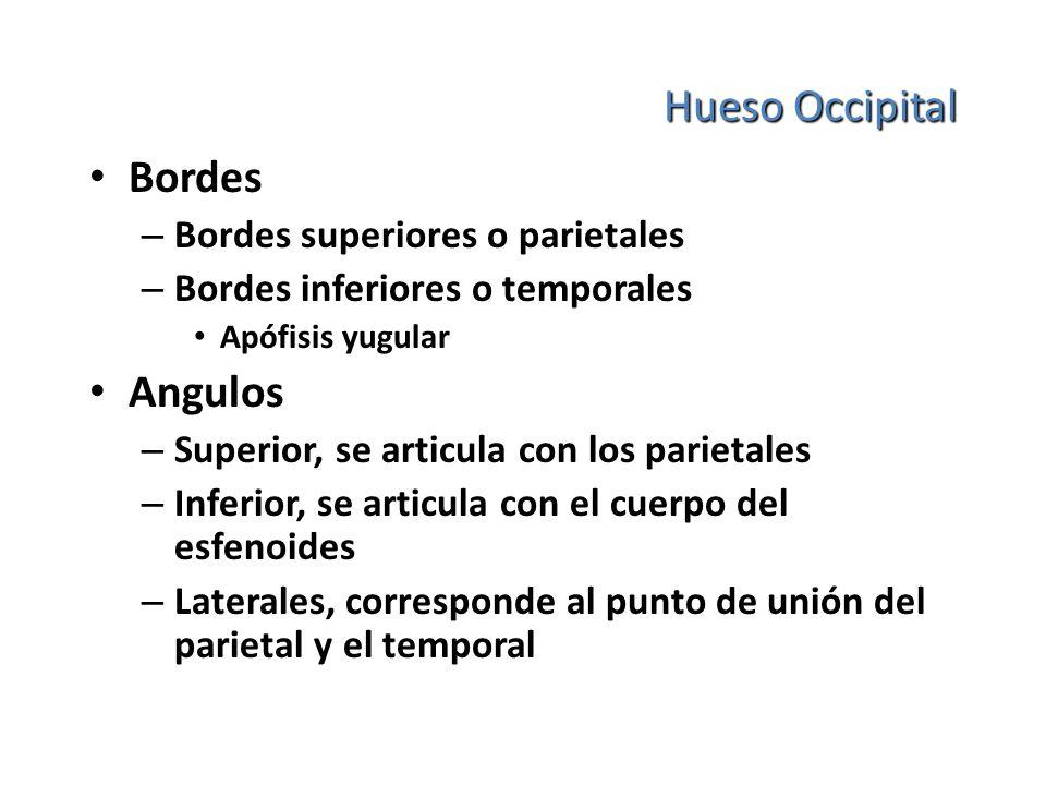 Hueso Occipital Bordes Angulos Bordes superiores o parietales