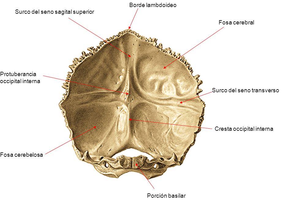 Borde lambdoideo Surco del seno sagital superior. Fosa cerebral. Protuberancia occipital interna.
