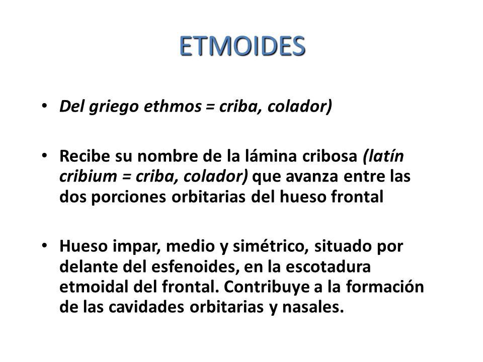 ETMOIDES Del griego ethmos = criba, colador)