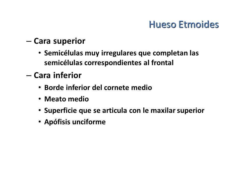 Hueso Etmoides Cara superior Cara inferior