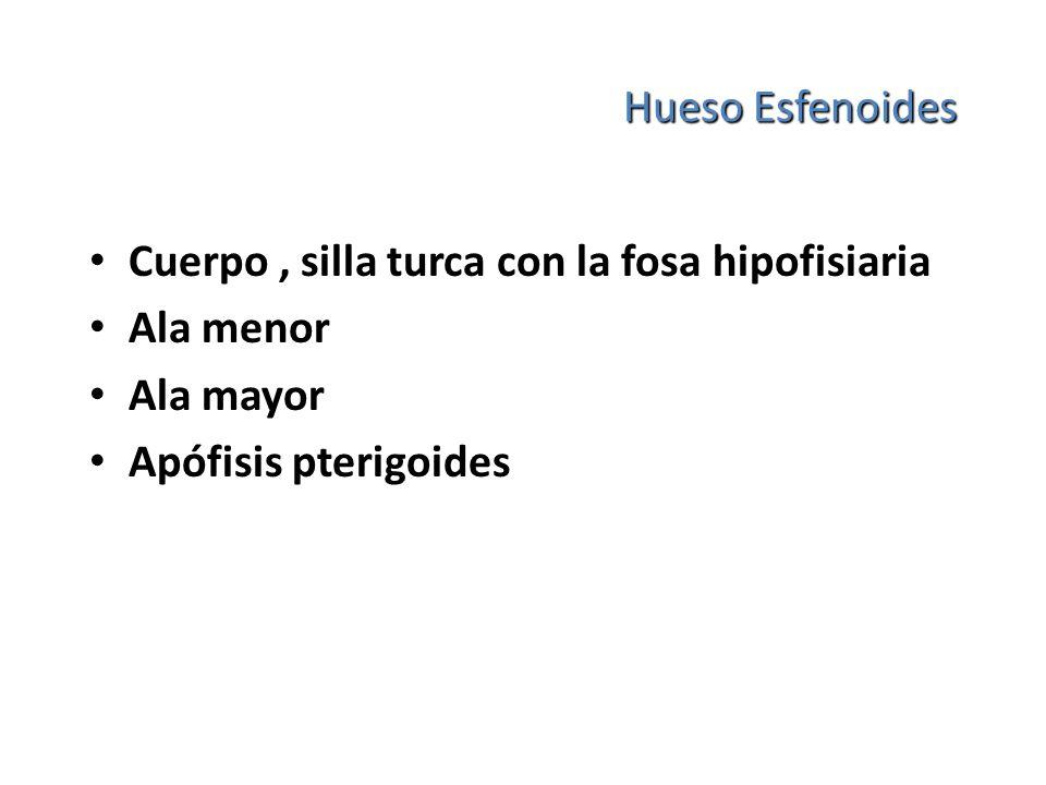 Hueso Esfenoides Cuerpo , silla turca con la fosa hipofisiaria.