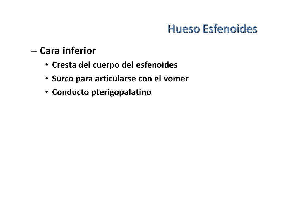 Hueso Esfenoides Cara inferior Cresta del cuerpo del esfenoides