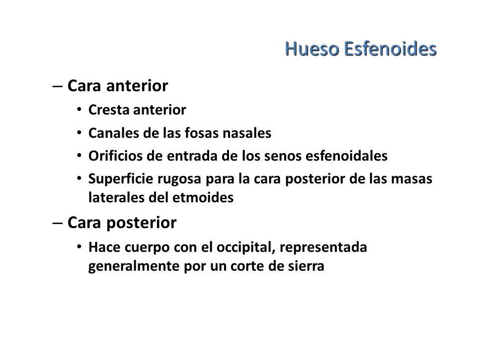 Hueso Esfenoides Cara anterior Cara posterior Cresta anterior