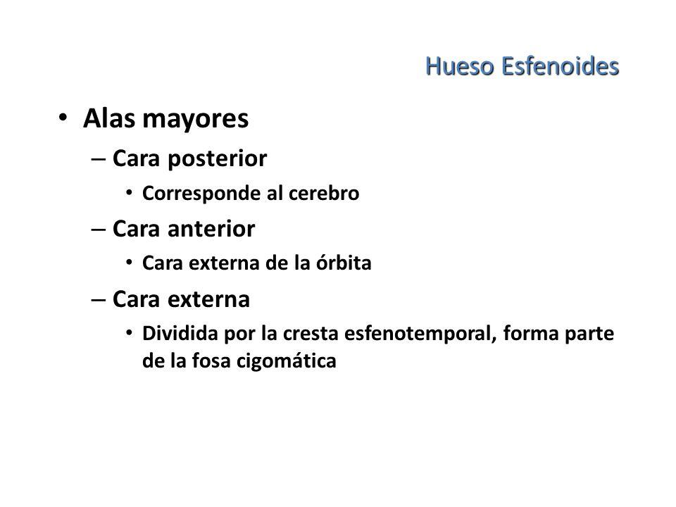 Alas mayores Hueso Esfenoides Cara posterior Cara anterior