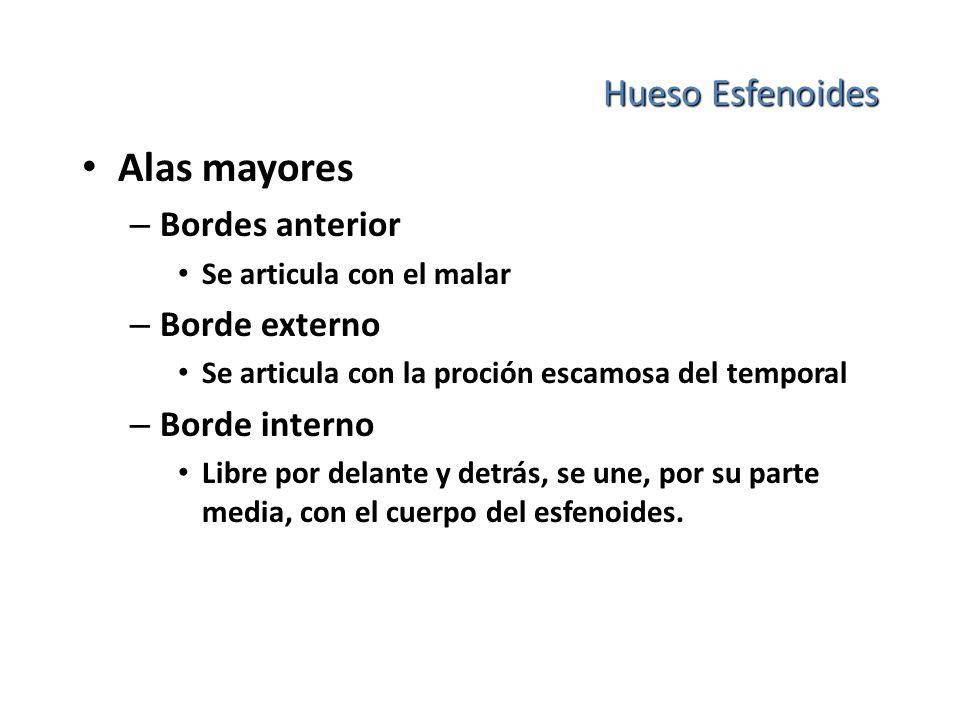 Alas mayores Hueso Esfenoides Bordes anterior Borde externo