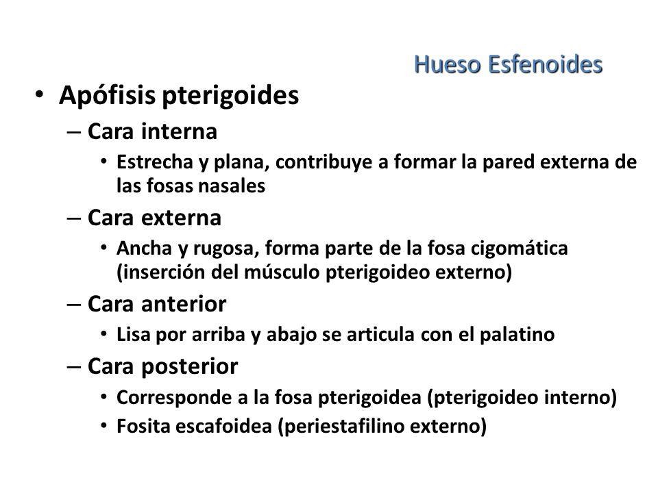 Apófisis pterigoides Hueso Esfenoides Cara interna Cara externa
