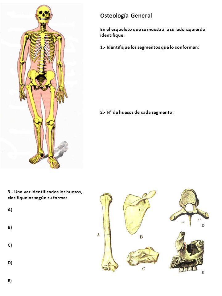 Osteología General En el esqueleto que se muestra a su lado izquierdo identifique: 1.- Identifique los segmentos que lo conforman: 2.- N° de huesos de cada segmento:
