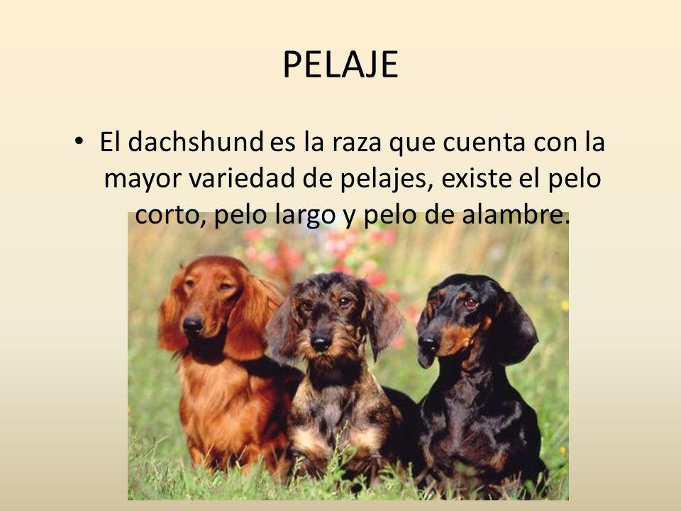 PELAJE El dachshund es la raza que cuenta con la mayor variedad de pelajes, existe el pelo corto, pelo largo y pelo de alambre.