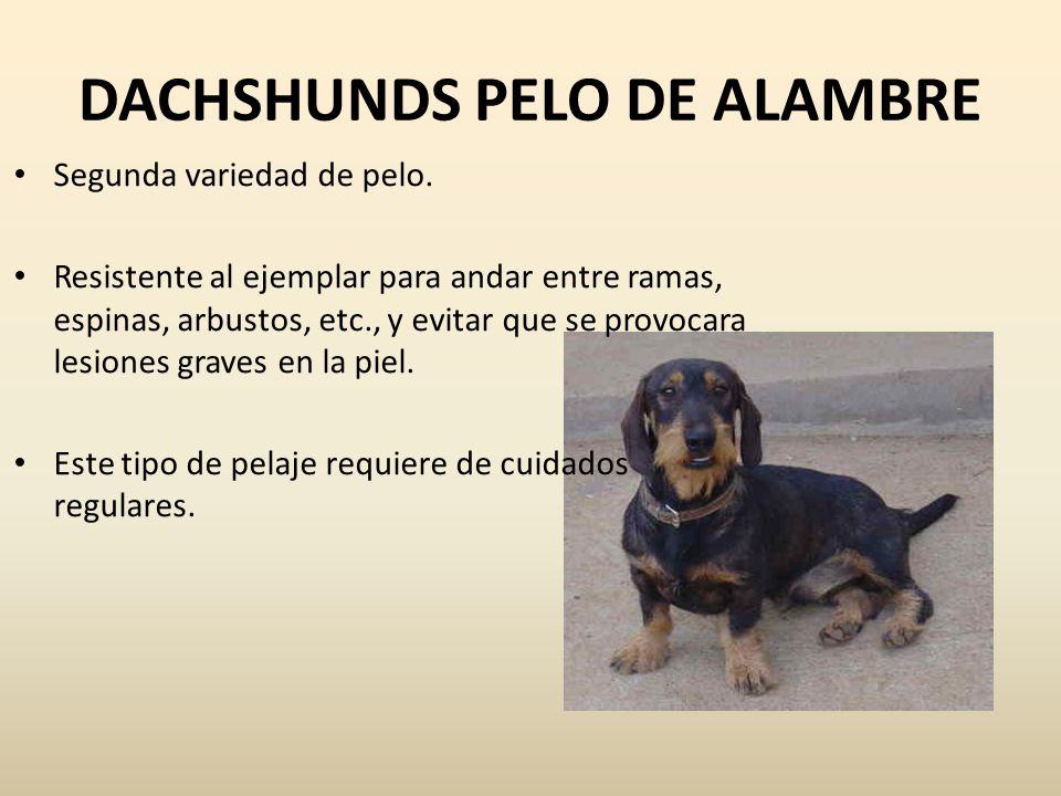 DACHSHUNDS PELO DE ALAMBRE