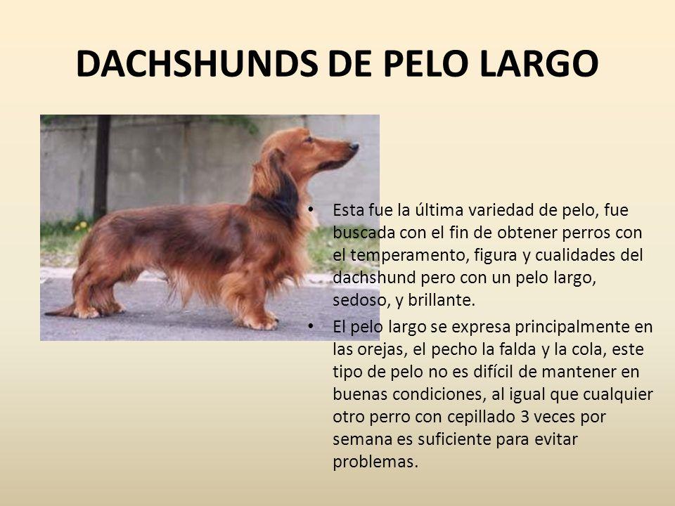 DACHSHUNDS DE PELO LARGO