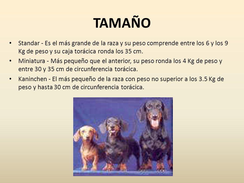TAMAÑO Standar - Es el más grande de la raza y su peso comprende entre los 6 y los 9 Kg de peso y su caja torácica ronda los 35 cm.