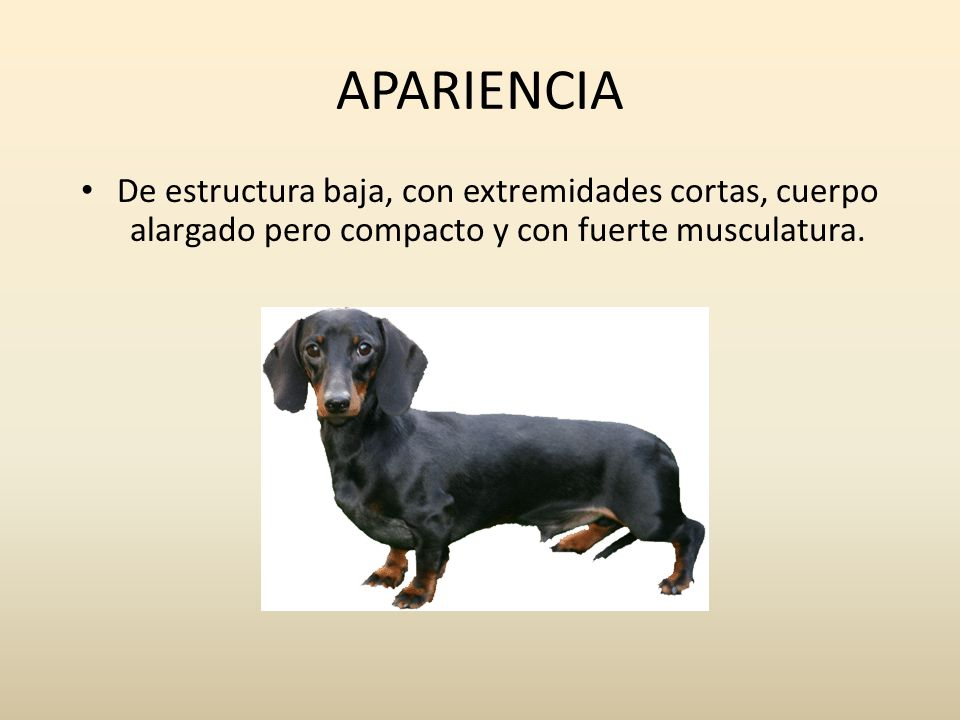 APARIENCIA De estructura baja, con extremidades cortas, cuerpo alargado pero compacto y con fuerte musculatura.