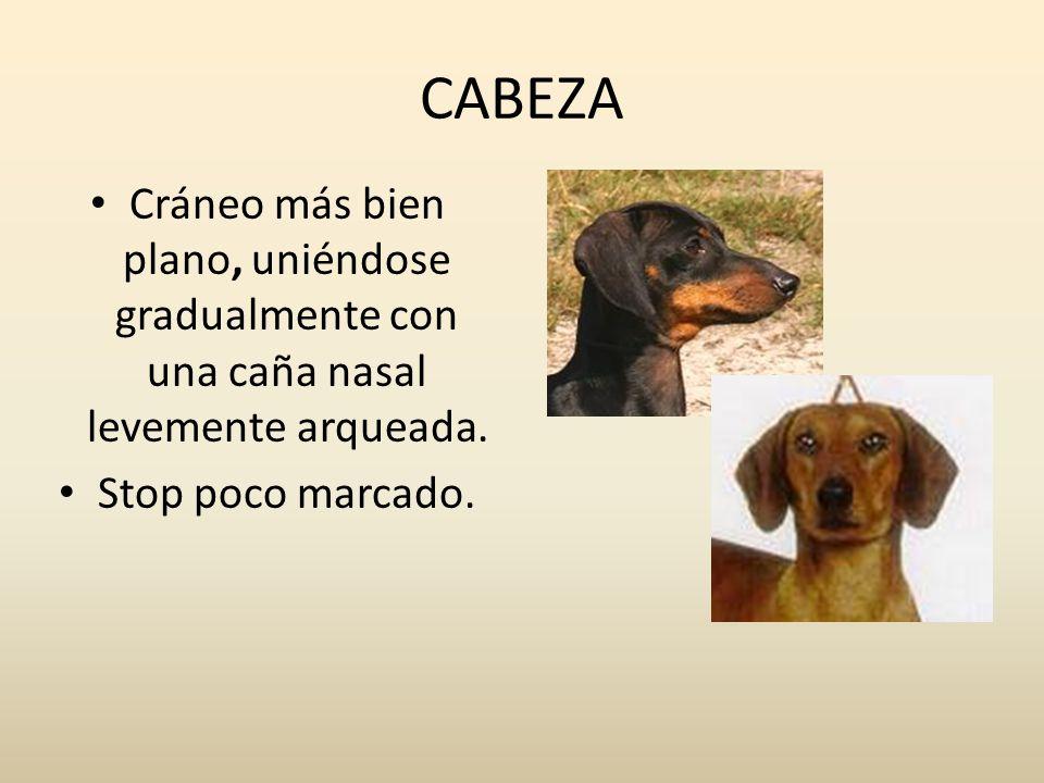 CABEZA Cráneo más bien plano, uniéndose gradualmente con una caña nasal levemente arqueada.