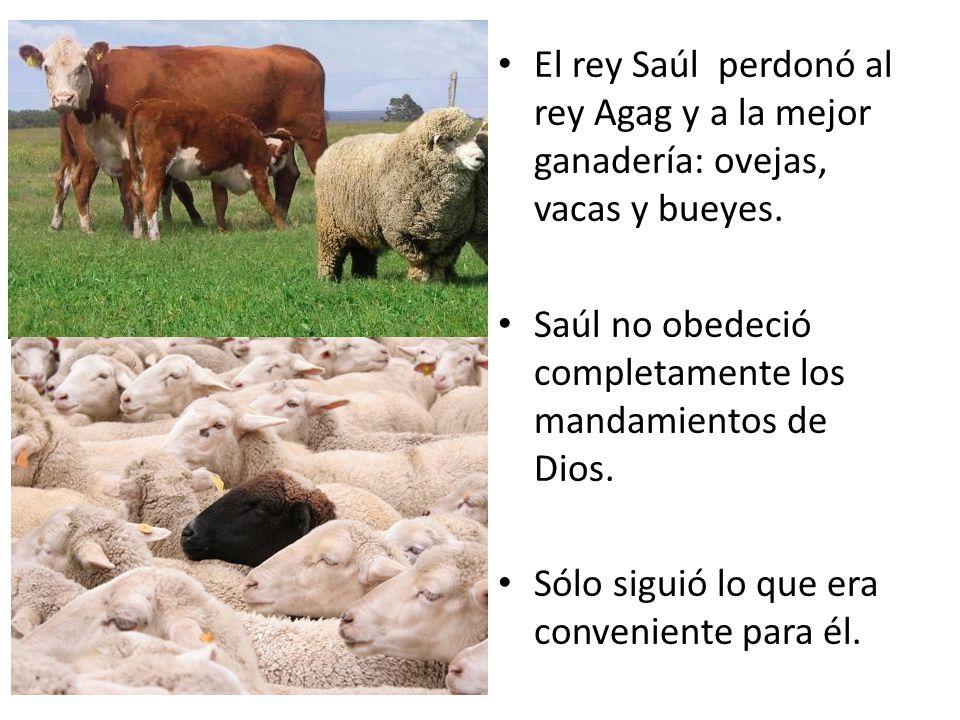 El rey Saúl perdonó al rey Agag y a la mejor ganadería: ovejas, vacas y bueyes.