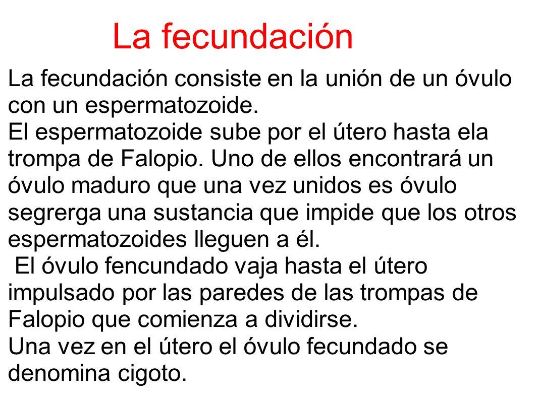 La fecundación La fecundación consiste en la unión de un óvulo con un espermatozoide.