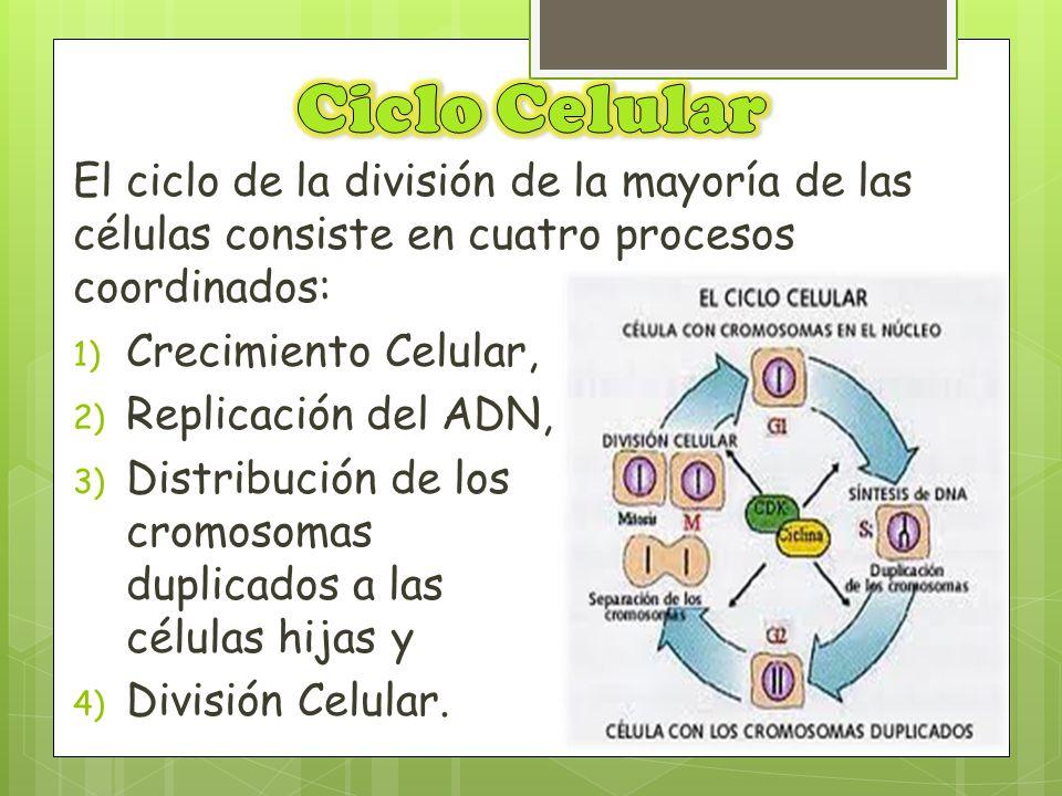 Ciclo Celular El ciclo de la división de la mayoría de las células consiste en cuatro procesos coordinados: