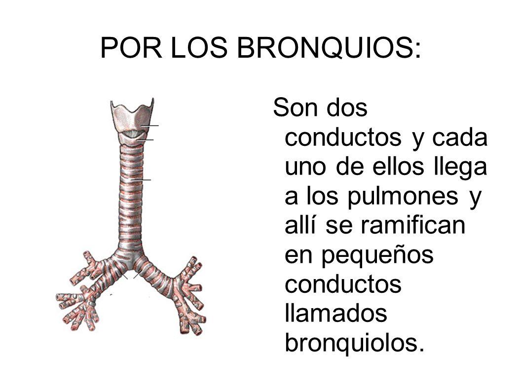POR LOS BRONQUIOS: Son dos conductos y cada uno de ellos llega a los pulmones y allí se ramifican en pequeños conductos llamados bronquiolos.