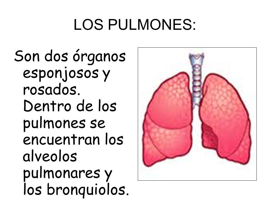 LOS PULMONES: Son dos órganos esponjosos y rosados.
