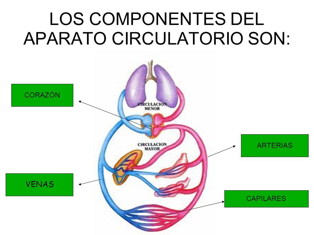 LOS COMPONENTES DEL APARATO CIRCULATORIO SON: