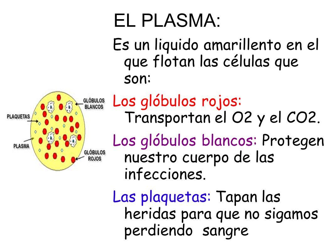 EL PLASMA:Es un liquido amarillento en el que flotan las células que son: Los glóbulos rojos: Transportan el O2 y el CO2.