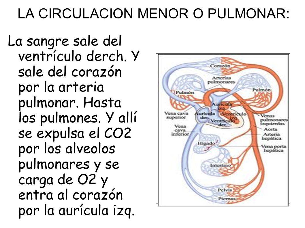 LA CIRCULACION MENOR O PULMONAR:
