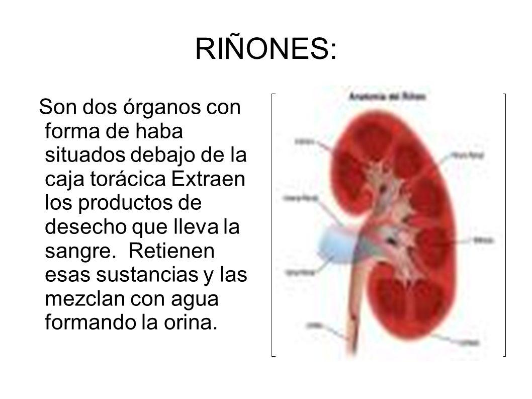 RIÑONES: