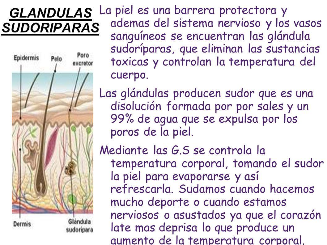 GLANDULAS SUDORIPARAS
