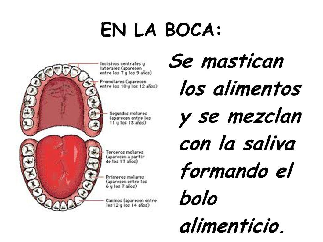 EN LA BOCA:Se mastican los alimentos y se mezclan con la saliva formando el bolo alimenticio.
