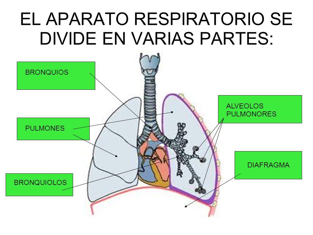 EL APARATO RESPIRATORIO SE DIVIDE EN VARIAS PARTES:
