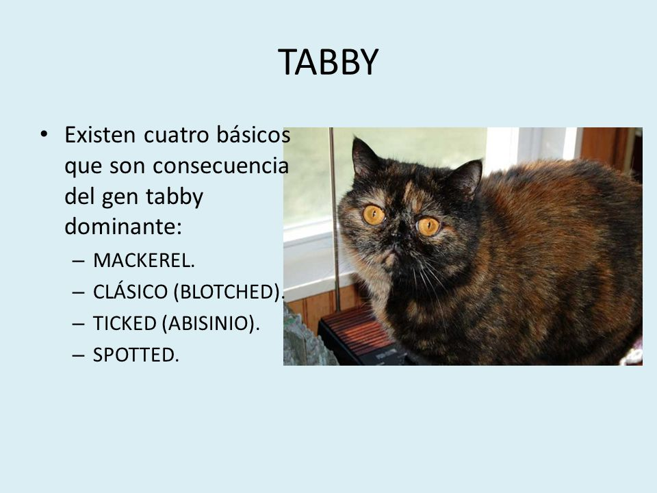 TABBY Existen cuatro básicos que son consecuencia del gen tabby dominante: MACKEREL. CLÁSICO (BLOTCHED).