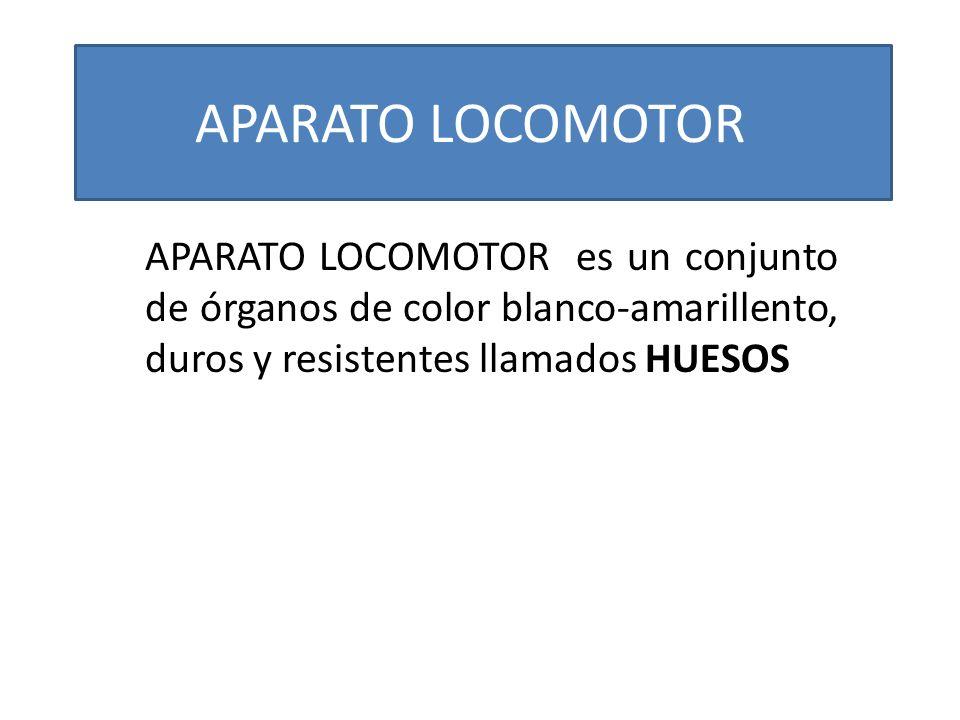 APARATO LOCOMOTOR APARATO LOCOMOTOR es un conjunto de órganos de color blanco-amarillento, duros y resistentes llamados HUESOS.