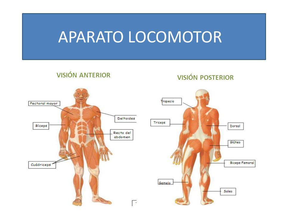 APARATO LOCOMOTOR VISIÓN ANTERIOR VISIÓN POSTERIOR
