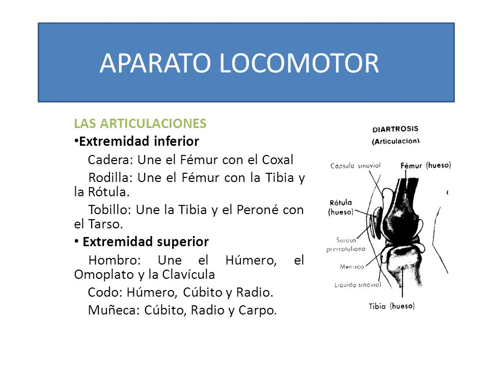 APARATO LOCOMOTOR LAS ARTICULACIONES Extremidad inferior