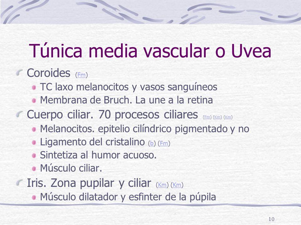 Túnica media vascular o Uvea