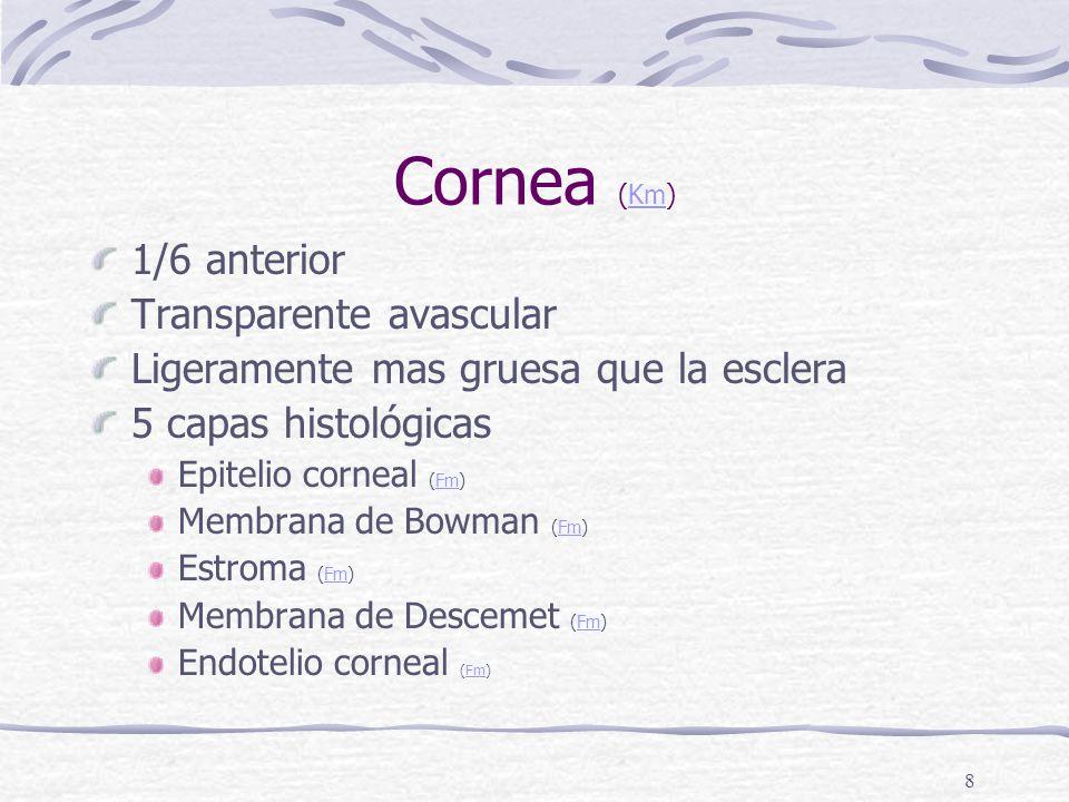 Cornea (Km) 1/6 anterior Transparente avascular