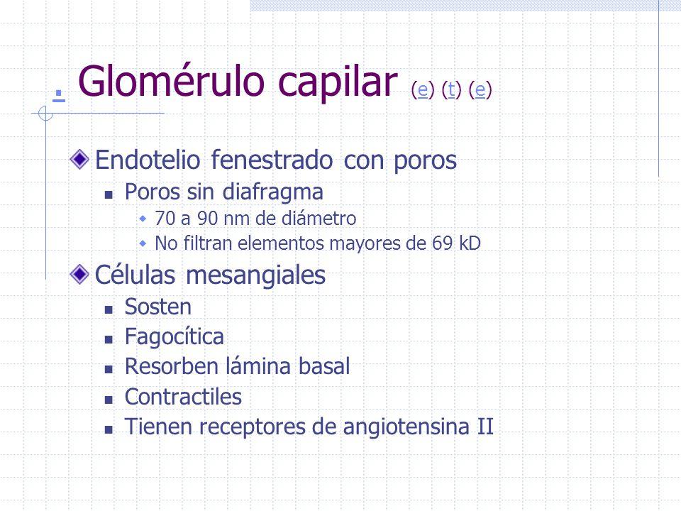 . Glomérulo capilar (e) (t) (e)