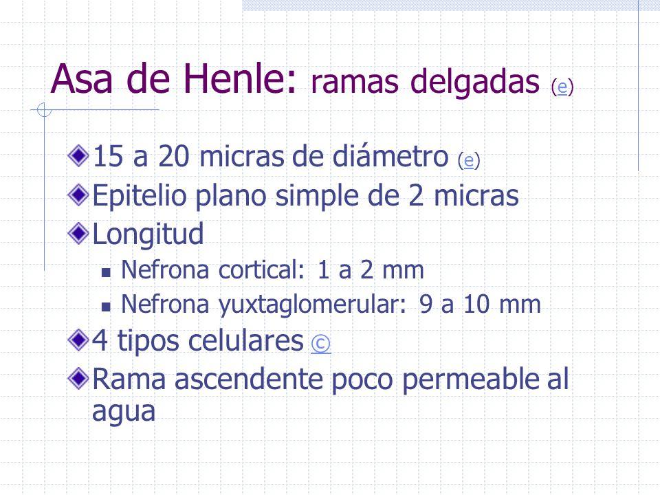 Asa de Henle: ramas delgadas (e)
