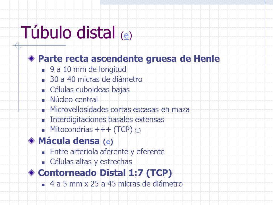 Túbulo distal (e) Parte recta ascendente gruesa de Henle