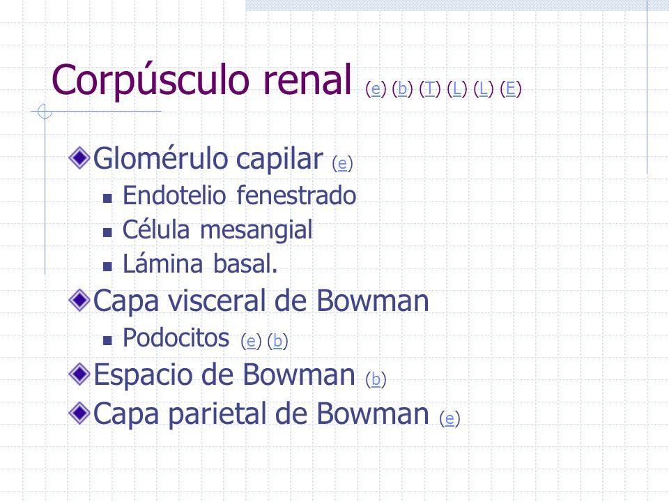 Corpúsculo renal (e) (b) (T) (L) (L) (E)