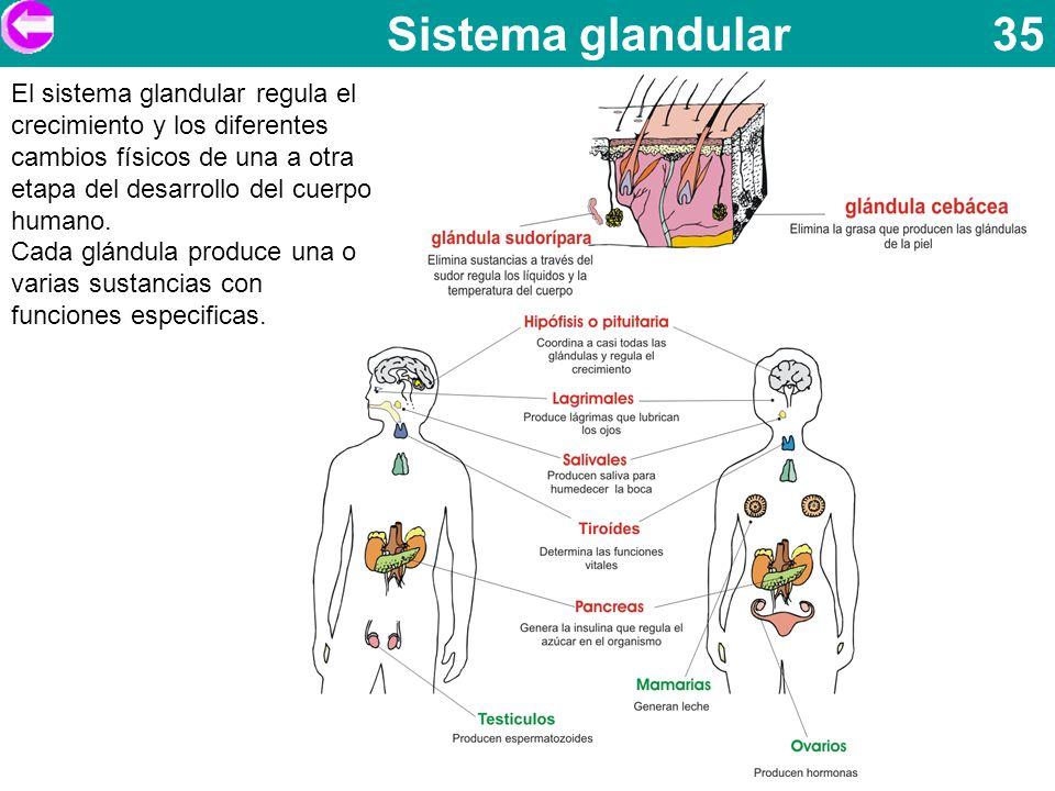 Sistema glandular 35