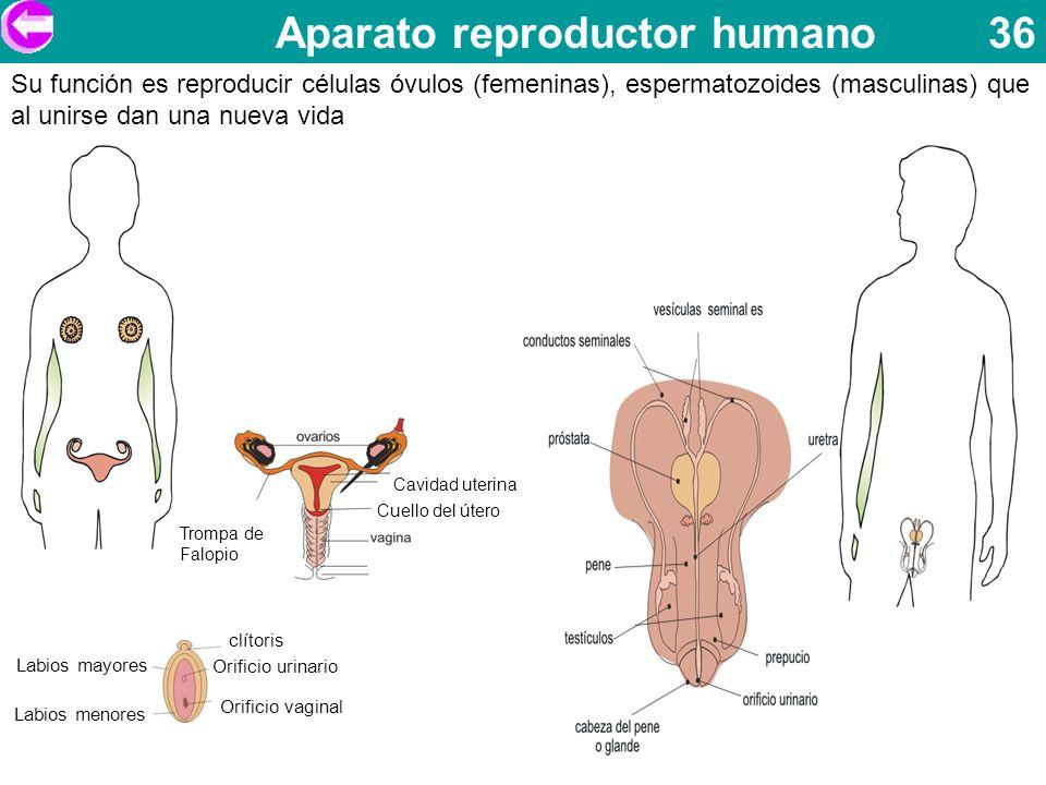 Aparato reproductor humano 36