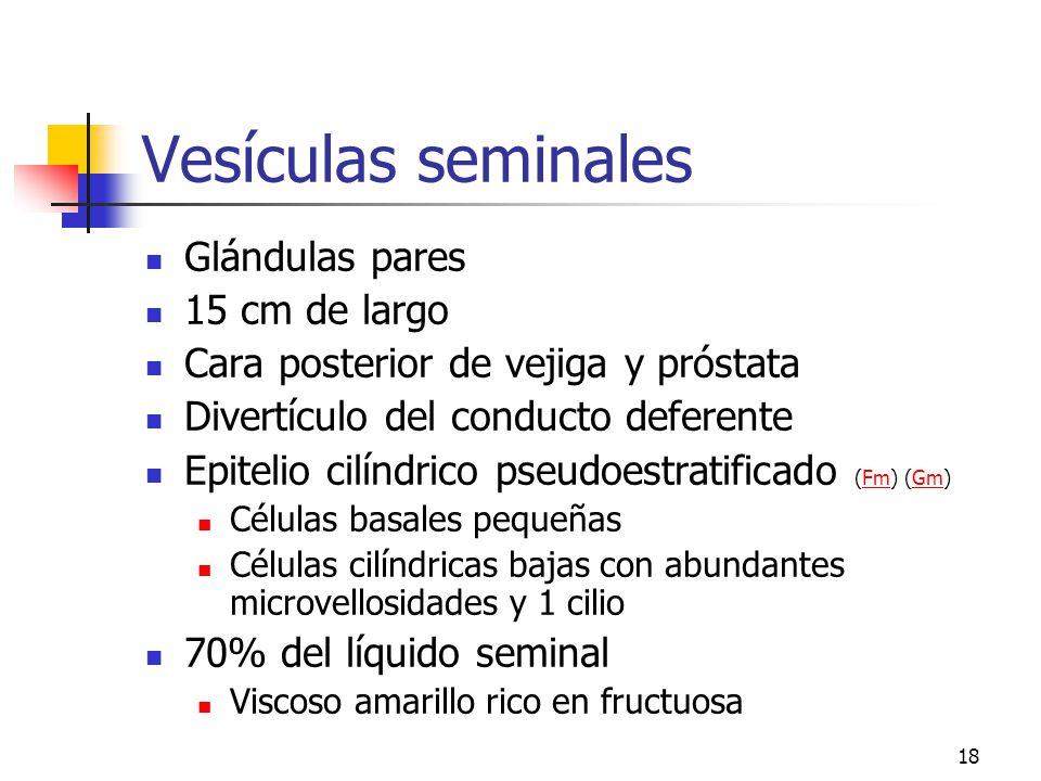 Vesículas seminales Glándulas pares 15 cm de largo