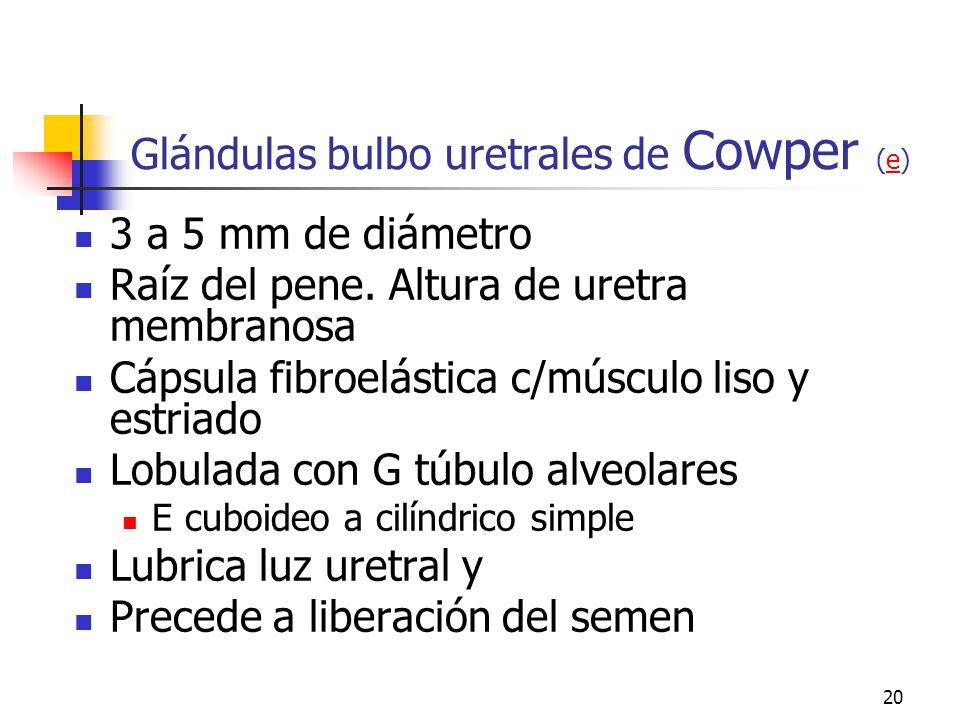 Glándulas bulbo uretrales de Cowper (e)