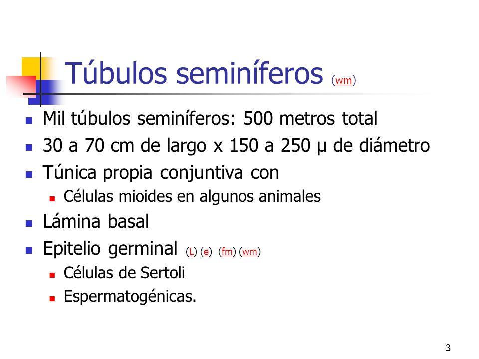 Túbulos seminíferos (wm)